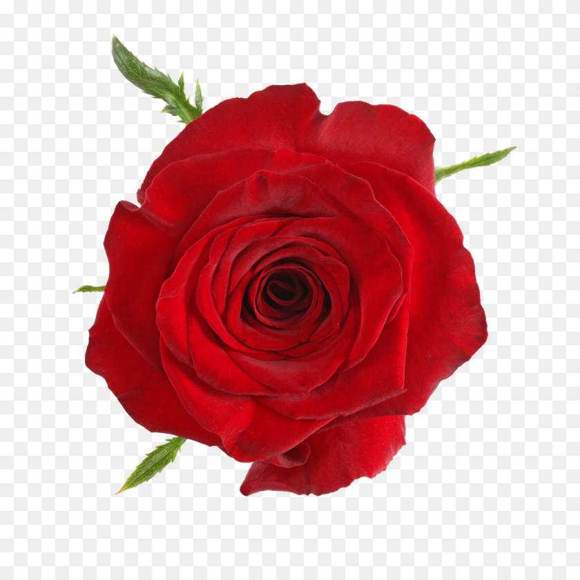 Roses Qualirosa - Yellow Roses PNG