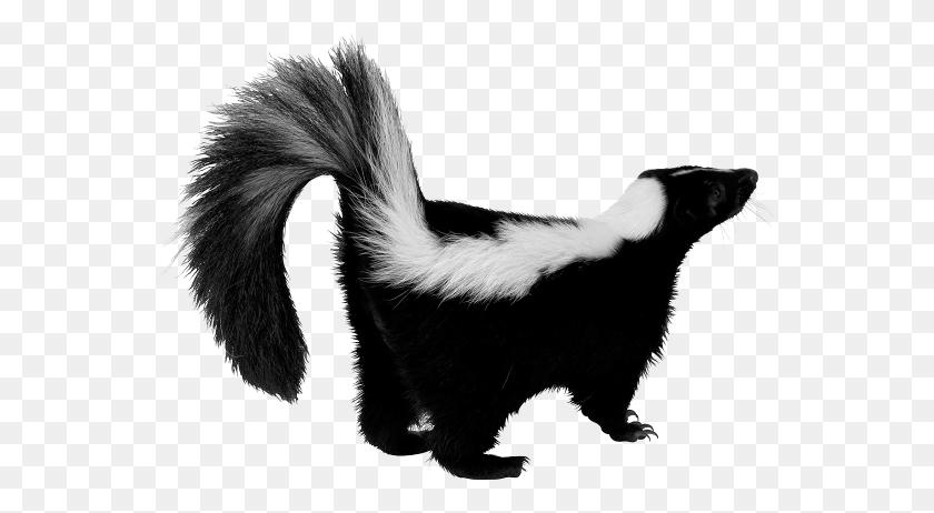 Skunk Png Transparent Skunk Images - Skunk PNG