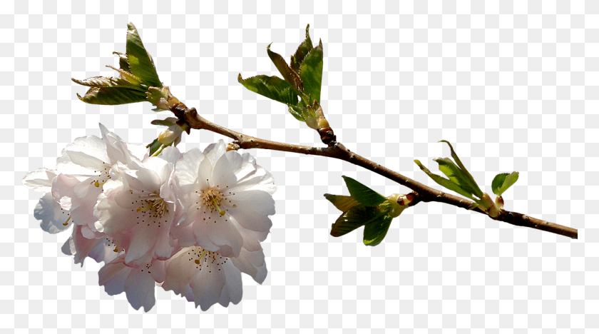 1280x670 Spring Flowery Branch Transparent Png - Cherry Blossom Branch PNG