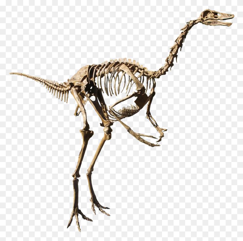Struthiomimus - Dinosaur Bones PNG