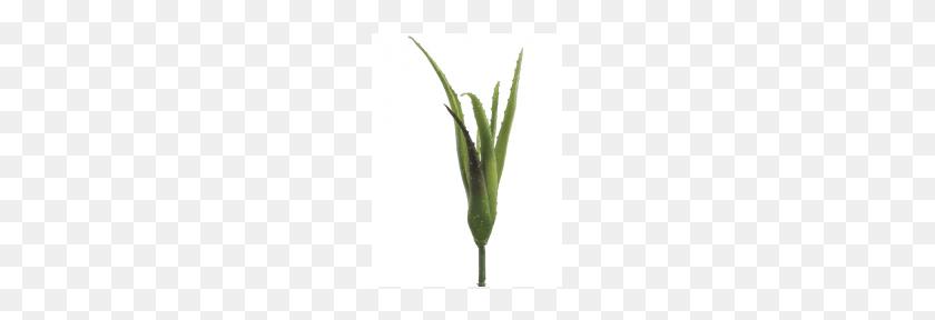 Succulents E Cacti - Succulents PNG