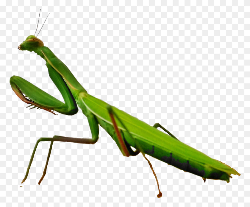 The Newest Mantis Stickers - Mantis PNG