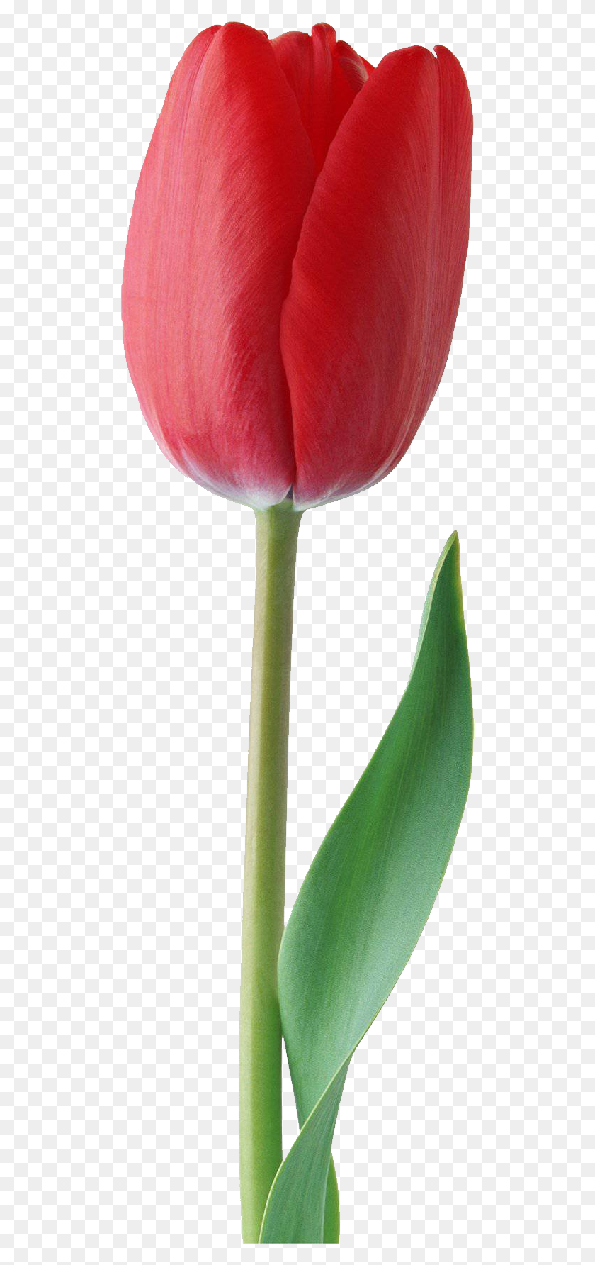 Tulip Png Transparent Tulip Images - Tulip PNG