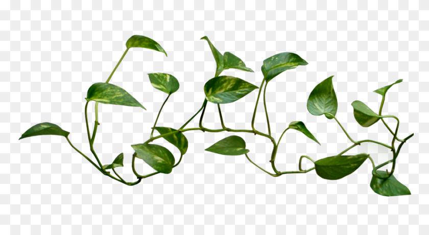 Vines Png Images Free Download, Vine Leaf, Vines - Money Tree PNG